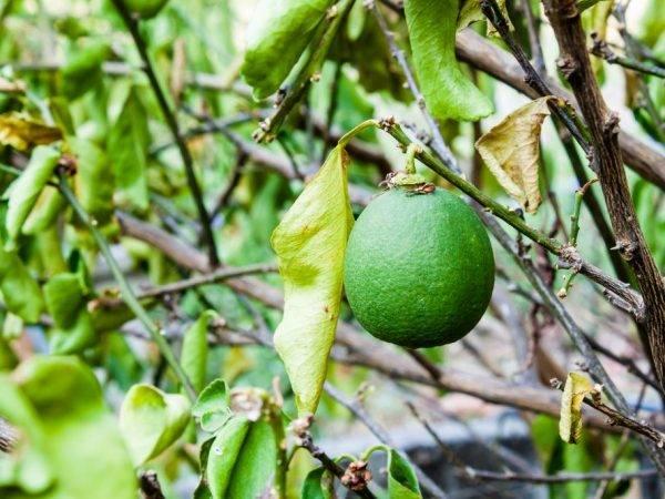 Почему у лимона опадают листья и что делать в домашних условиях, желтеют и сохнут листья у комнатного лимонного дерева зимой