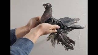 Бойные голуби — столбовые северокавказские породы