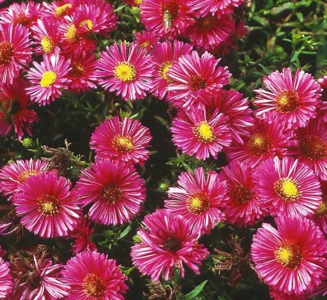Цветы сентябринки: как ухаживать за осенними звездочками сада?