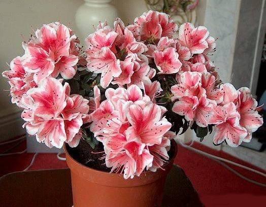 Комнатный цветок азалия: описание с фото, выращивание и уход в домашних условиях, размножение