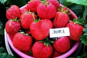 Клубника лорд: описание сорта, фото, отзывы, особенности ягоды