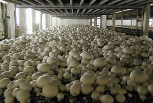 Бизнес-план по выращиванию грибов - «жажда» - бизнес-журнал