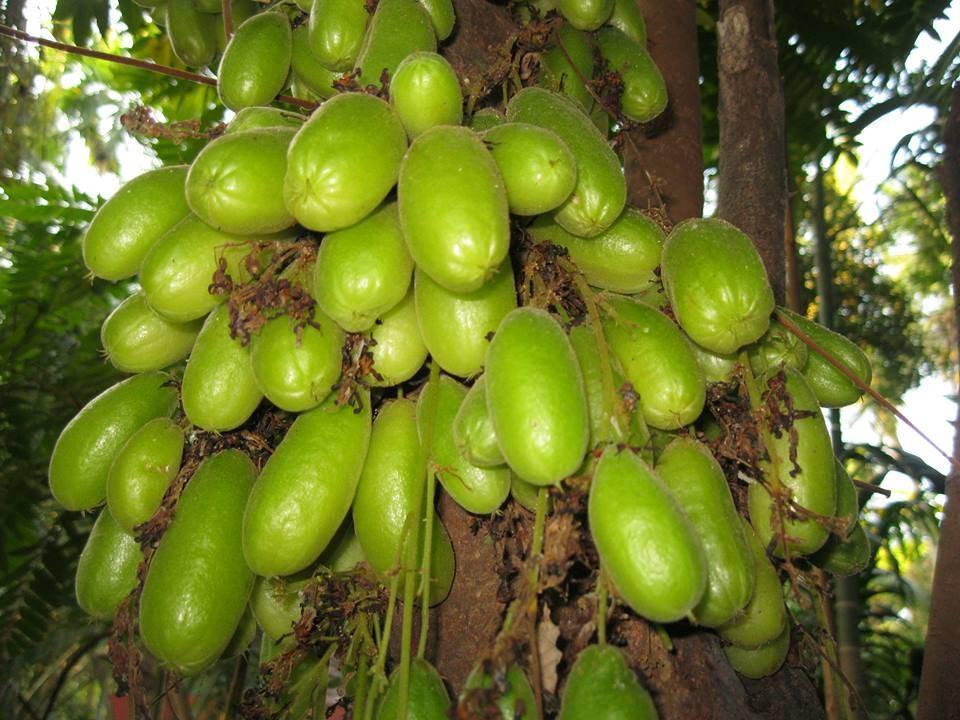 Огуречное дерево билимби: фото и описание кислого тропического плода