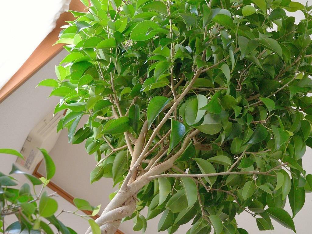 Фикус бенджамина сбрасывает листья: причины, что делать