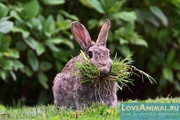 Можно ли кроликам давать лебеду?