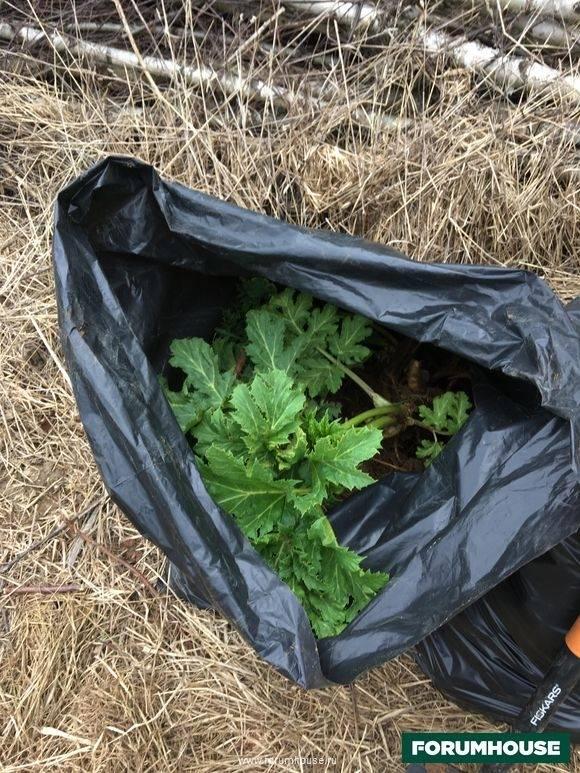 Борщевик на участке, как избавиться и как бороться с ядовитым растением — народные и современные советы