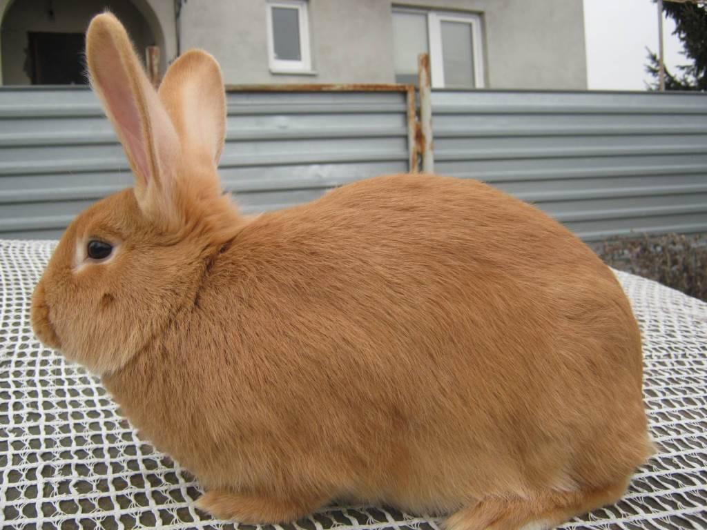 Рыжий кролик: описание пород - сельская жизнь