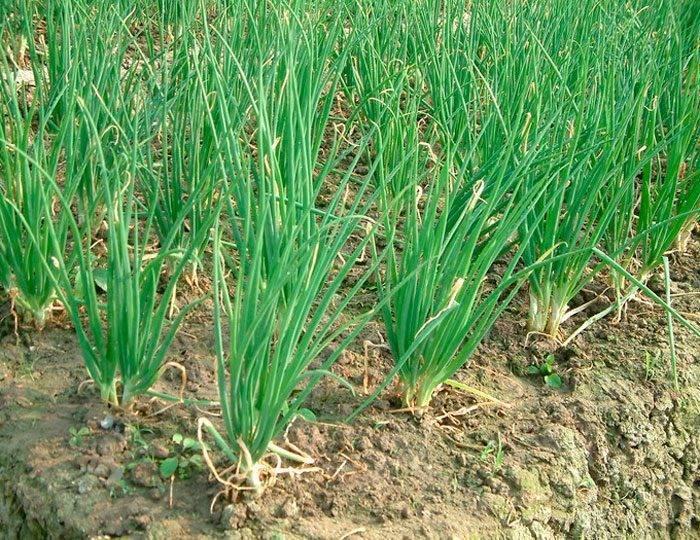 Лук-шалот: посадка и уход в открытом грунте, сорта, выращивание из семян за один сезон, как сажать весной на головку, через рассаду