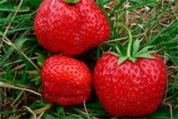 Сорт клубники Машенька — описание и особенности выращивания