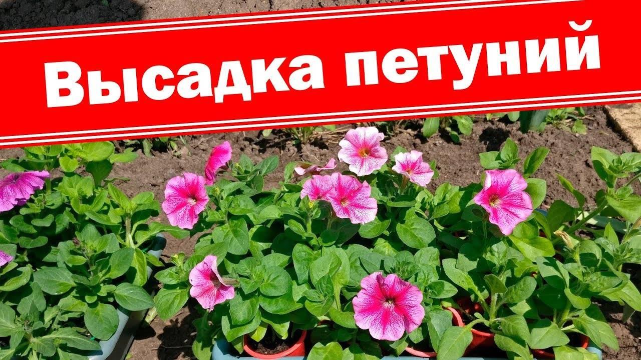 Как вырастить хорошую рассаду петунии: уход, условия выращивания