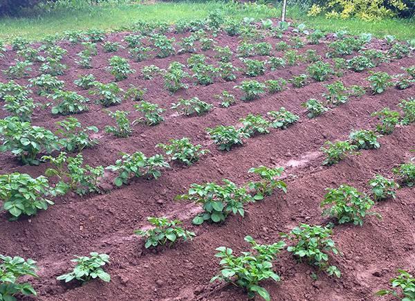 Как правильно обустроить смешанную грядку: планировка и схемы, соседство овощей