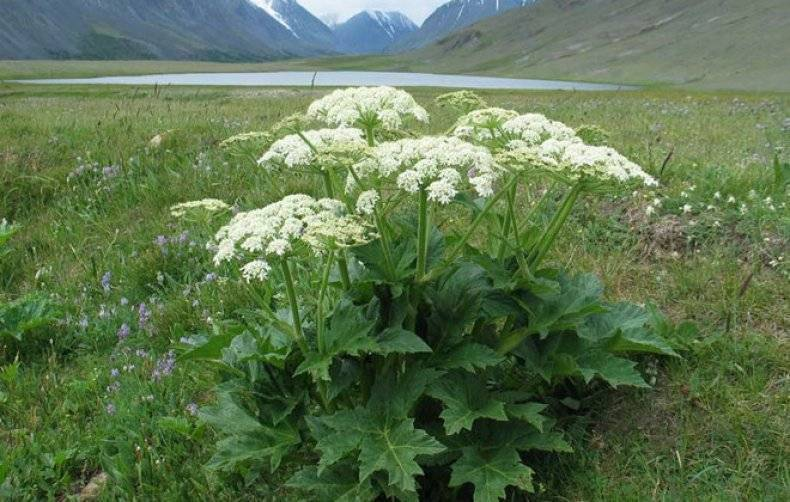 Растение борщевик: как выглядит, меры предосторожности, всё о плюсах и минусах