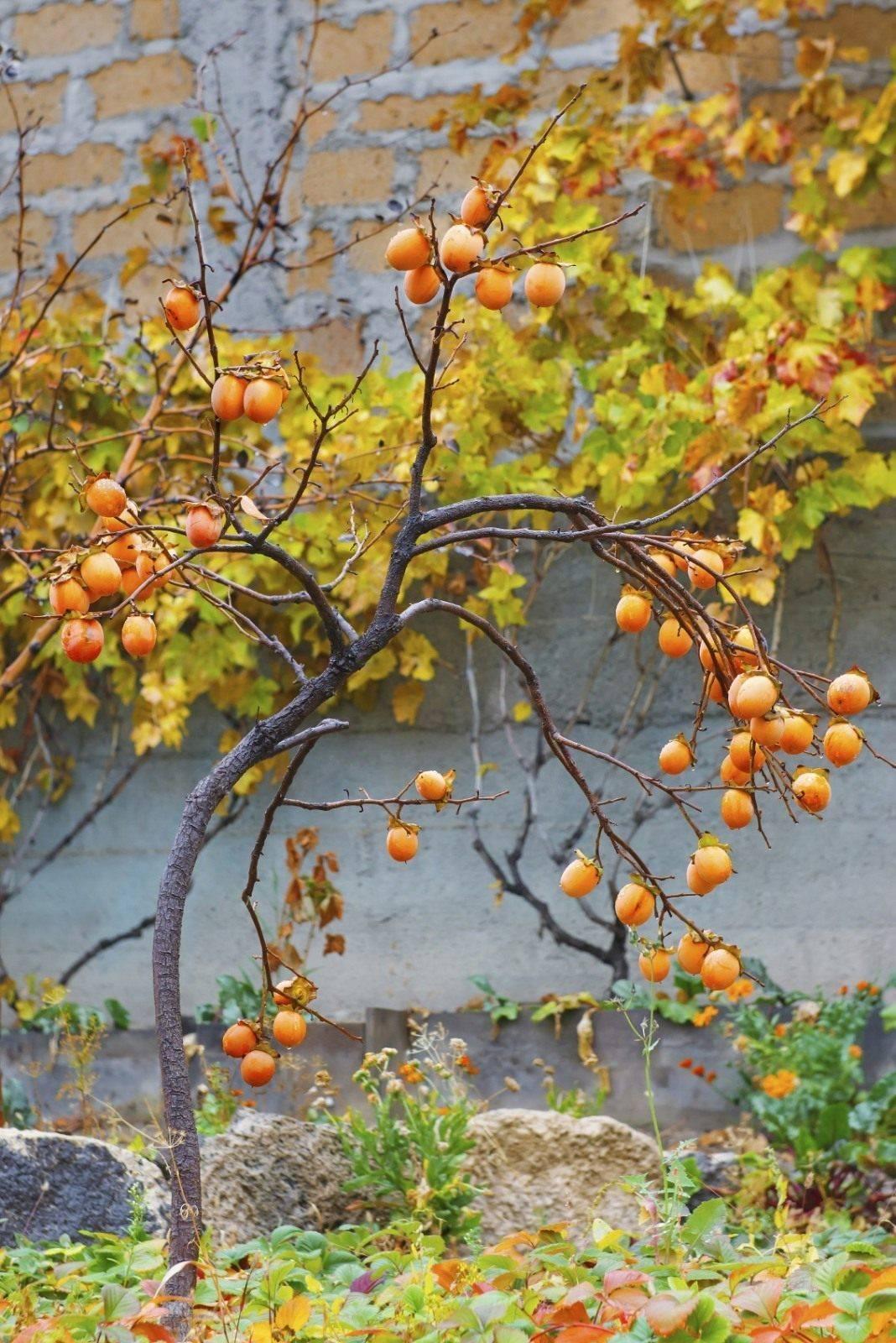 Посадка и выращивание хурмы в открытом грунте