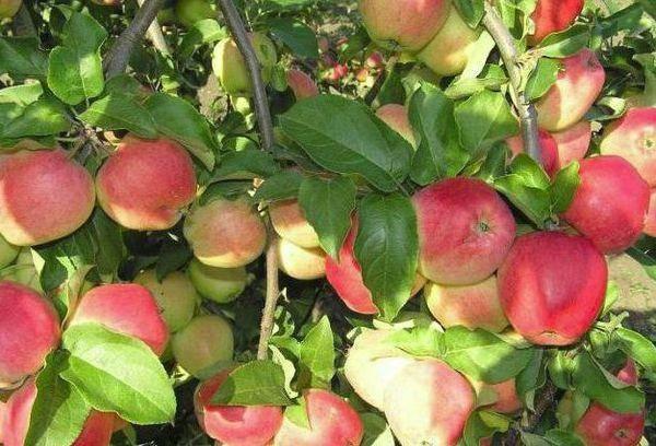 Сорт яблони кандиль орловский – описание, фото