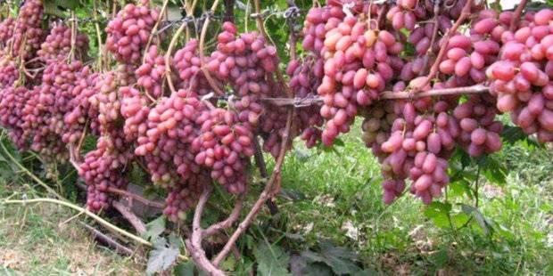 Виноград преображение: описание сорта с характеристикой и отзывами, особенности посадки и выращивания, фото