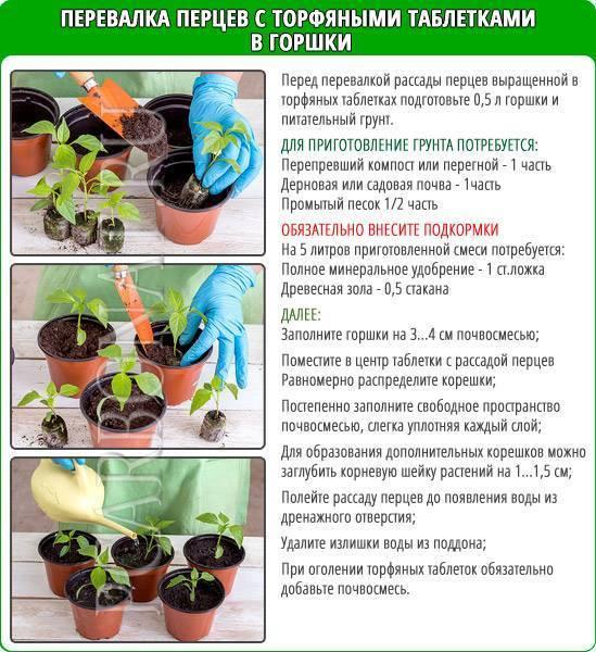 Рассада перцев: посадка и выращивание без пикировки в торфяных таблетках, стаканчиках, ящиках