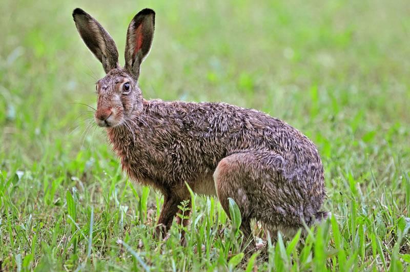 Заяц-русак: фото и описание, где обитает и чем питается?