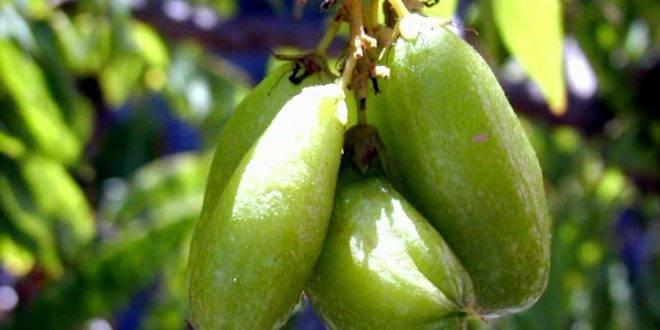 Билимби (огуречное дерево) содержание полезных веществ, польза и вред, свойства