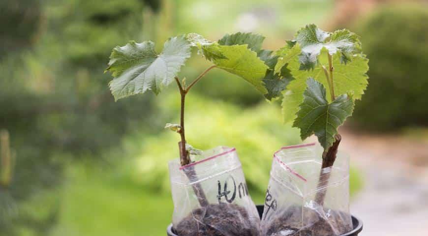 Посадка и уход за виноградом в подмосковье
