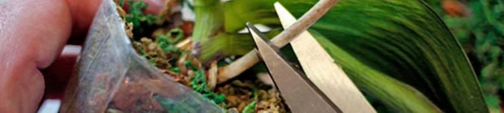 Как и когда обрезать орхидею после цветения: нужно ли удалять цветонос, инструкция