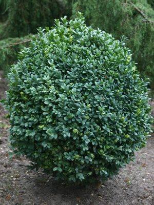 Самые броские вечнозелёные растения для сада. фото — ботаничка.ru