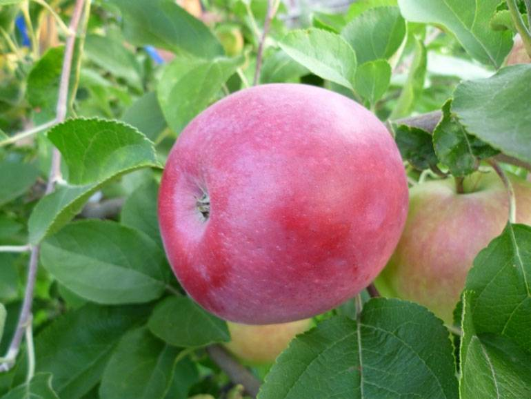 Яблоня слава победителям: описание сорта, фото, отзывы садоводов