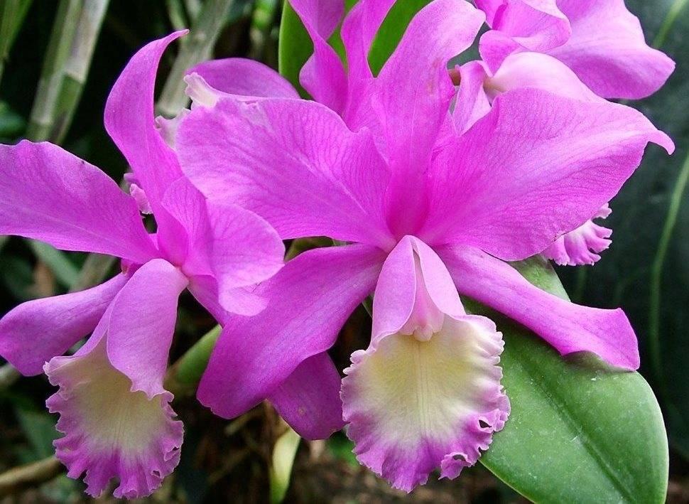 Орхидея Каттлея: нюансы ухода в домашних условиях + фото