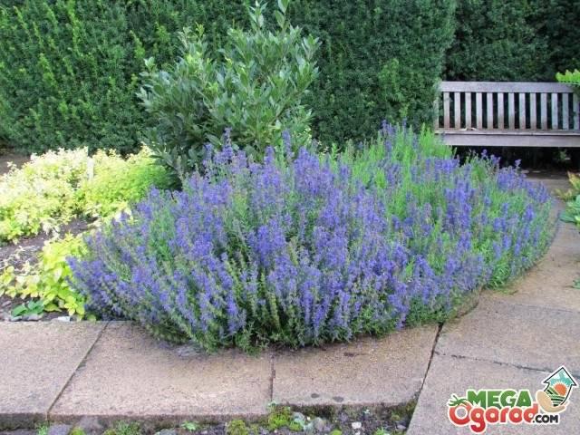 Иссоп посадка и уход в открытом грунте и на подоконнике— выращивание из семян, размножение