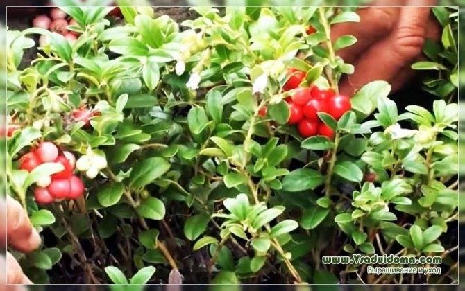 Брусника «коралл»: описание сорта и размножение. выращивание брусники и уход за ней