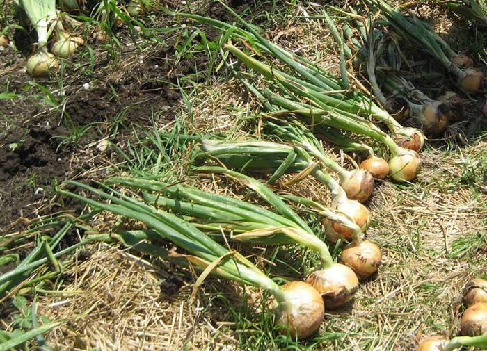 Когда пора убирать лук с грядки — правильно определяем срок созревания и выкапывания разных видов лука