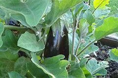Сорт баклажана бибо. особенности выращивания и ухода, сбора и хранения урожая
