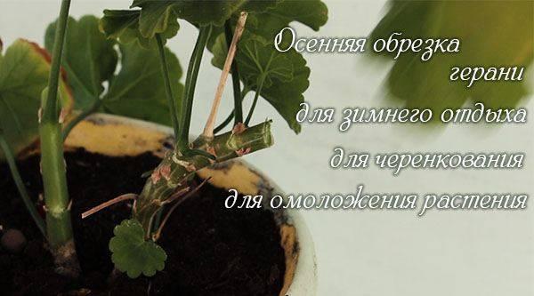 Королевская герань: способы размножения, обрезка и домашний уход для создания пышного цветения