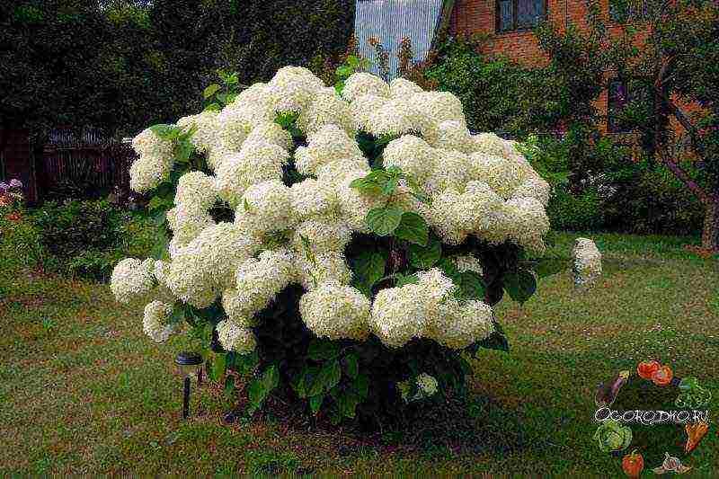 Гортензия садовая: посадка и уход в открытом грунте, фото, почва когда пересаживать цветы весной selo.guru — интернет портал о сельском хозяйстве