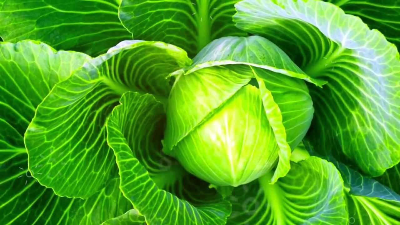 Белокочанный кладезь здоровья: польза и вред популярной капусты