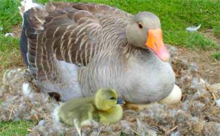 Сколько дней сидит гусыня на яйцах: время высиживания, сколько яиц кладут