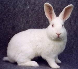 Порода кроликов белый паннон: описание, характеристика и разведение (+фото)