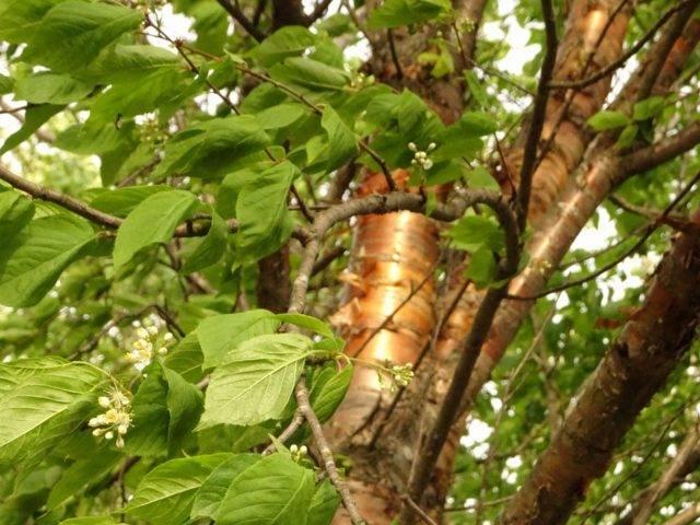 Черёмуха маака: характерные особенности вида и его описание, правила выращивания и ухода за деревом