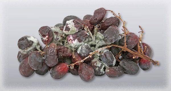 Виноград изюминка: описание сорта, фото и отзывы садоводов