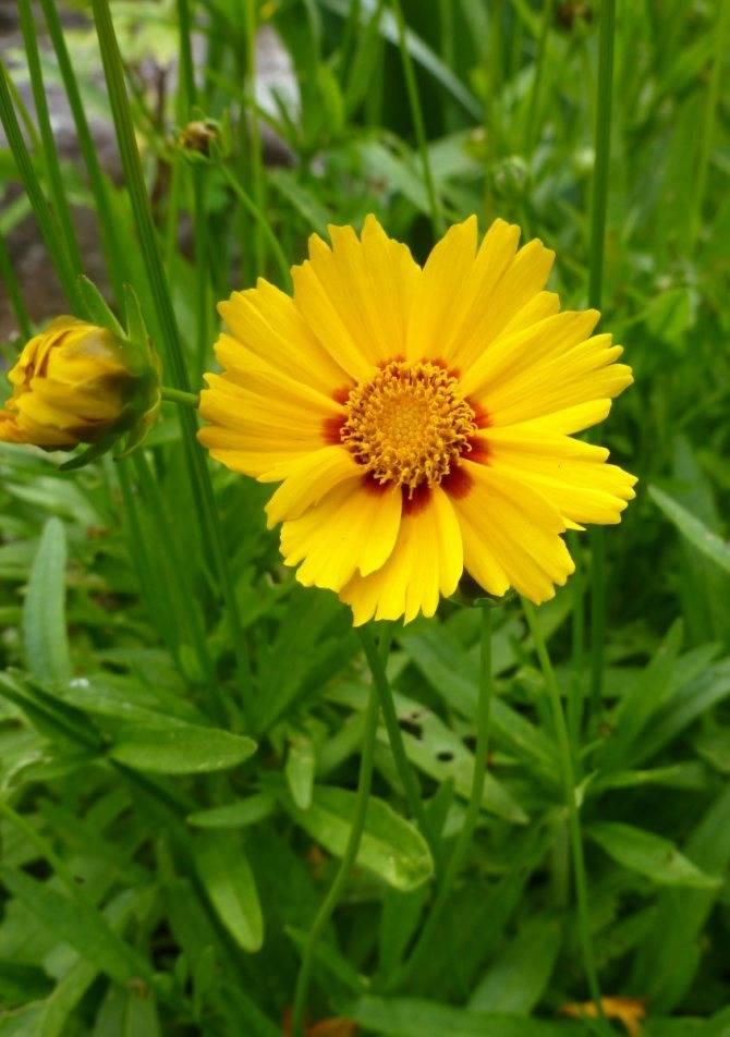 Кореопсис многолетний: посадка, выращивание и уход