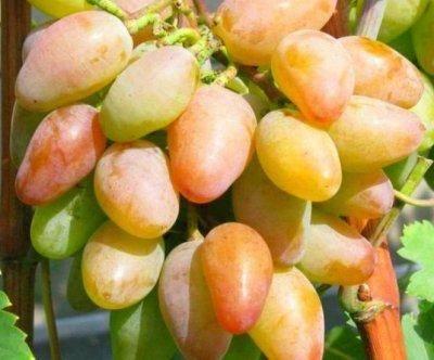 ✅ виноград тимур описание сорта фото отзывы видео. описание сорта винограда тимур - живой-сад.рф