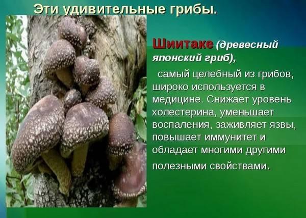 Шиитаке - полезные свойства гриба и противопоказания, фото и описание, выращивание шиитаке