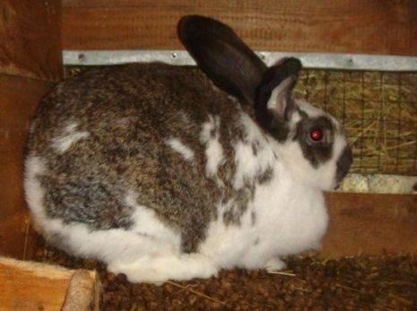 Cукрольность крольчихи: сколько длится беременность, поведение