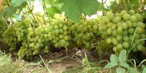 Выращивание винограда в подмосковье, особенности посадки и ухода для данного региона