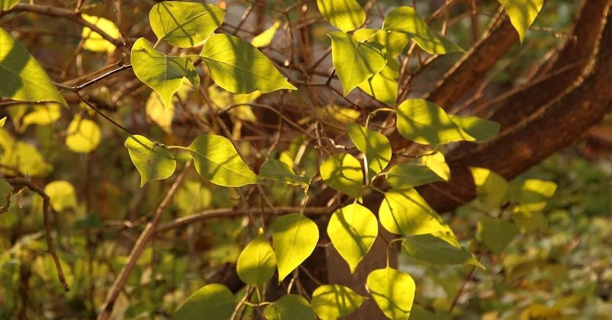 Посадка сирени весной и осенью в открытый грунт: правила ухода и выращивания