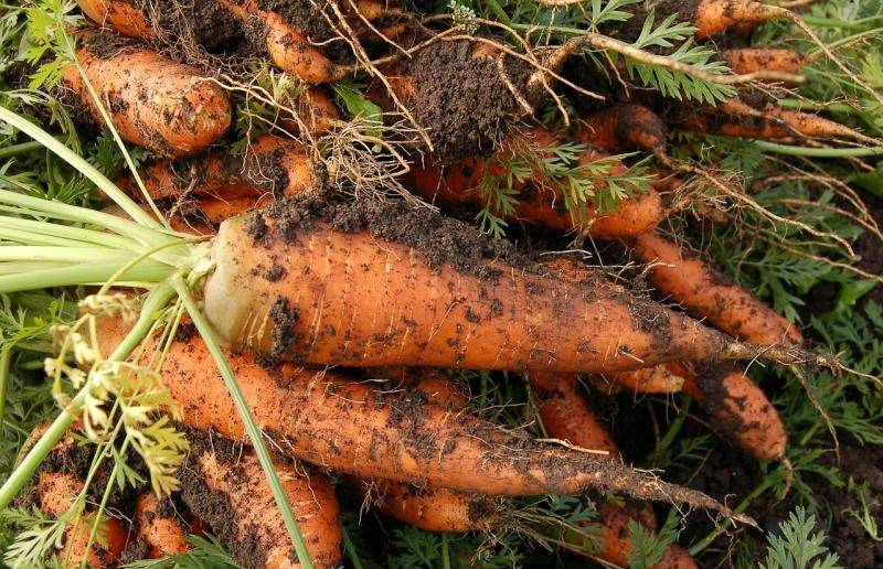 Когда сажать свеклу и морковь в 2021 году по лунному календарю? — klumba.org