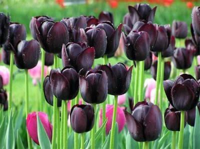 Тюльпаны - роскошные фото прекрасных и нежных цветков для сада