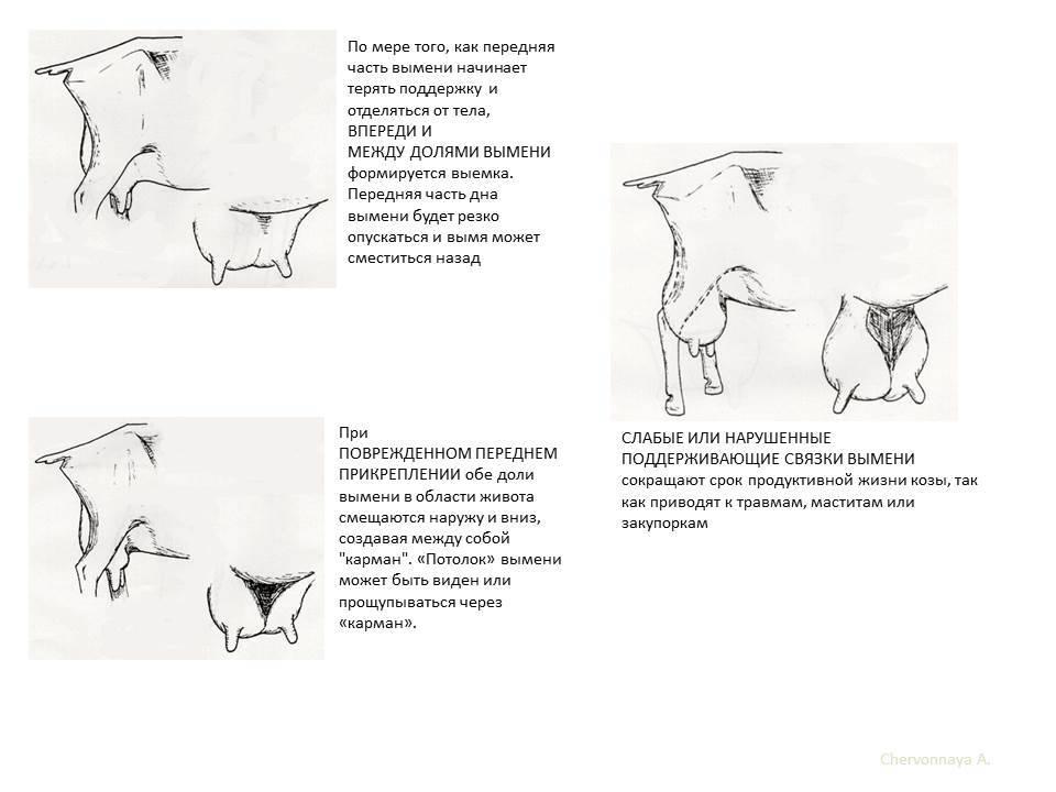 Как правильно доить козу своими руками в домашних условиях и сколько раз в день по времени — почему самка не дает молоко — moloko-chr.ru