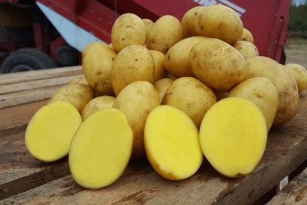Картофель ласунок: описание и характеристика, отзывы