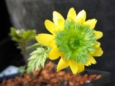 Цветок адонис: посадка и уход в открытом грунте, выращивание из семян