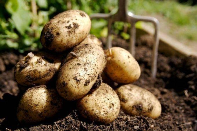 Галина кизима: посадка картофеля, описание метода выращивания, советы